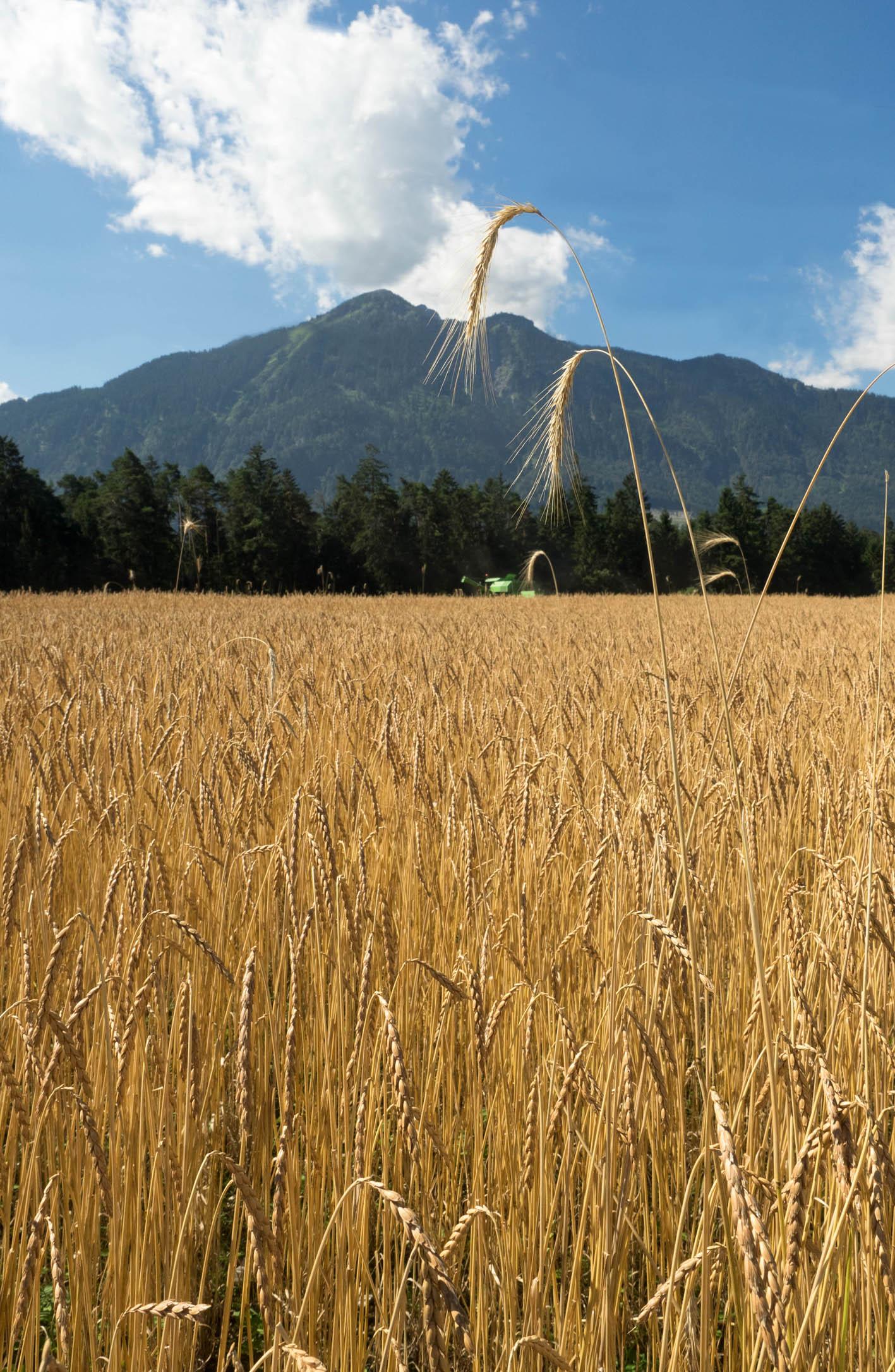 Ist das Getreide richtig trocken, muss sofort geerntet werden. Sohn Fabian hilft hier in Thüringen auf dem Feld von Andreas Tschann mit dem Mähdrescher aus.