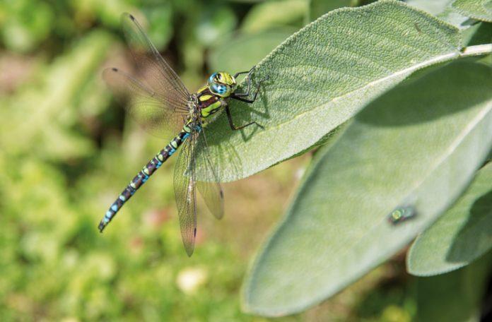 Die Blaugrüne Mosaikjungfer ist die häufigste Libelle in der Region. Sie sticht gerne Treibholz an und legt ihre Eier dort ab.